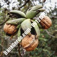 تقویت درخت گردو آمریکایی 09120460354