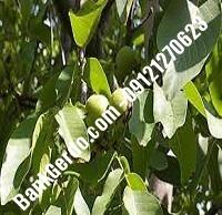 فروش نهال گردو اشلی پیوندی | نهالستان گردو | ۰۹۱۲۱۲۷۰۶۲۳