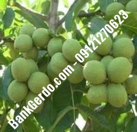 آبیاری قطره ای درخت گردو آمریکایی | ۰۹۱۲۱۲۶۳۵۲۴
