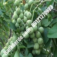 عمق ریشه درخت گردو خوشه ای 09382837999