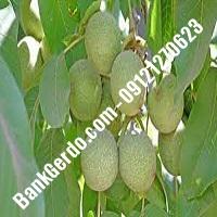 خرید فروش قیمت نهال گردو در مرودشت 09121263524