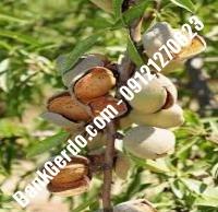 خرید فروش نهال بادام آبدانان | ۰۹۱۲۱۲۴۳۵۹۷