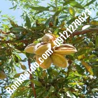 خرید فروش نهال بادام اسدآباد 09121243524