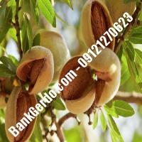 خرید فروش نهال بادام اصفهان 09121243524