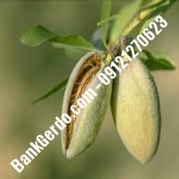 خرید فروش نهال بادام ایرانشهر 09121243524