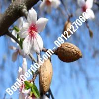 خرید فروش نهال بادام بندر انزلی 09121243524