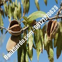 خرید فروش نهال بادام بوئین زهرا 09121243524