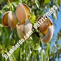 خرید فروش نهال بادام تهران 09121243524