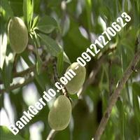 خرید فروش نهال بادام جیرفت 09121243524