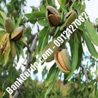 خرید فروش نهال بادام خوزستان 09121243524