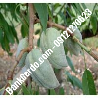 خرید فروش نهال بادام سبزوار 09121243524