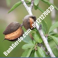 خرید فروش نهال بادام سمیرم 09121243524