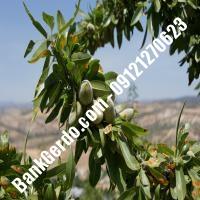 خرید فروش نهال بادام سیرجان 09121243524