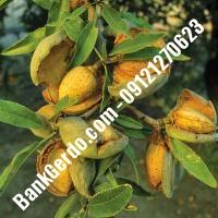 خرید فروش نهال بادام سیستان و بلوچستان 09121243524