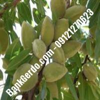 خرید فروش نهال بادام شهریار 09121243524