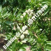 خرید فروش نهال بادام محمدشهر 09121243524