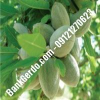خرید فروش نهال بادام نظرآباد 09121243524
