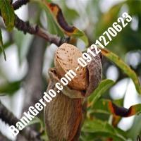 خرید فروش نهال بادام همدان 09121243524