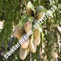 خرید فروش نهال بادام پارسآباد 09121243524
