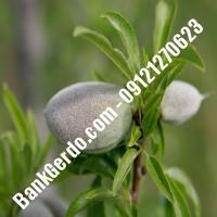 خرید فروش نهال بادام کاشان 09121243524