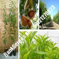 خرید فروش نهال بادام کرمانشاه 09121243524