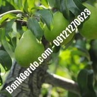 خرید فروش نهال گلابی آذربایجان شرقی 09121270623
