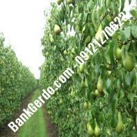 خرید فروش نهال گلابی آذربایجان غربی 09121270623
