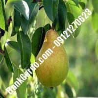 خرید فروش نهال گلابی اسلامشهر 09121270623