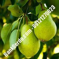 خرید فروش نهال گلابی اصفهان 09121270623