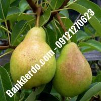خرید فروش نهال گلابی بروجن 09121270623