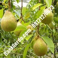 خرید فروش نهال گلابی بندر انزلی 09121270623