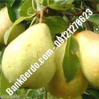 خرید فروش نهال گلابی گنبد کاووس 09121270623