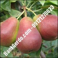 خرید فروش نهال گلابی تاکستان 09121270623