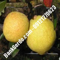 خرید فروش نهال گلابی حمیدیا 09121270623