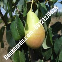 خرید فروش نهال گلابی دزفول 09121270623