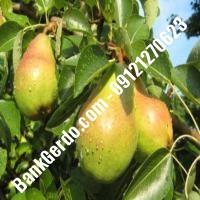 خرید فروش نهال گلابی طبس 09121270623