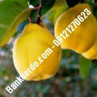 خرید فروش نهال گلابی فارس 09121270623