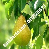 خرید فروش نهال گلابی فیروزآباد 09121270623