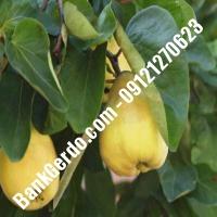خرید فروش نهال گلابی قزوین 09121270623