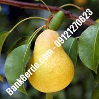خرید فروش نهال گلابی لاهیجان 09121270623