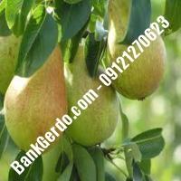خرید فروش نهال گلابی لردگان 09121270623