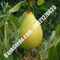 خرید فروش نهال گلابی نجفآباد 09121270623