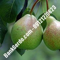 خرید فروش نهال گلابی کاشان 09121270623