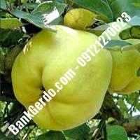 خرید فروش نهال گلابی کردستان 09121270623