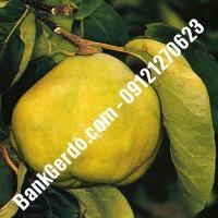 خرید فروش نهال گلابی کرمان 09121270623