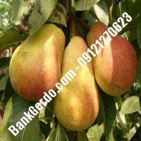 خرید فروش نهال گلابی کهک 09121270623
