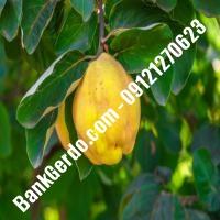 خرید فروش نهال گلابی کهگیلویه و بویراحمد 09121270623