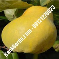 خرید فروش نهال گلابی گلستان 09121270623