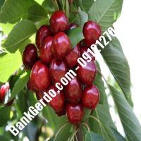 قیمت خرید نهال آلبالو در آذربایجان شرقی 09121263597