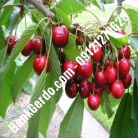 قیمت خرید نهال آلبالو در آمل 09121263597